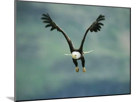 An American Bald Eagle in Flight-Klaus Nigge-Mounted Photographic Print