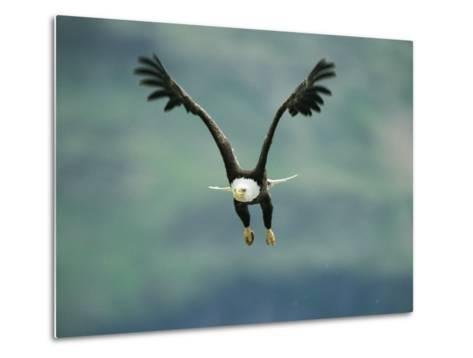 An American Bald Eagle in Flight-Klaus Nigge-Metal Print