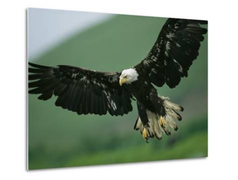 An American Bald Eagle Stares Intently Down at its Prey Below-Klaus Nigge-Metal Print