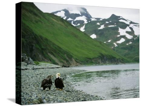 An Adult and Juvenile American Bald Eagle Rest Along the Shoreline-Klaus Nigge-Stretched Canvas Print