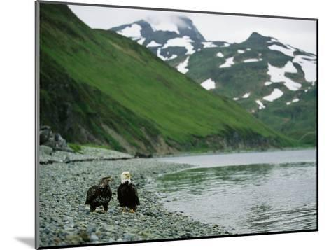 An Adult and Juvenile American Bald Eagle Rest Along the Shoreline-Klaus Nigge-Mounted Photographic Print