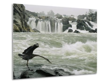 Great Blue Heron Stretches its Neck toward the Potomac River-Skip Brown-Metal Print