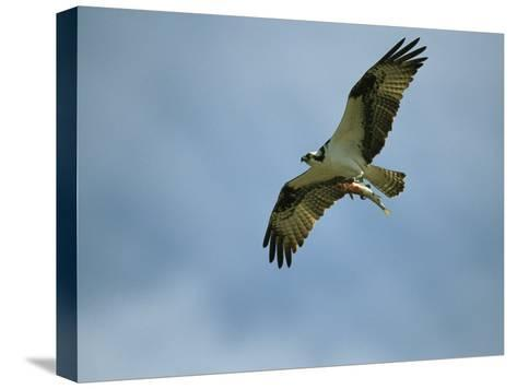 Osprey Carrying a Fish Back to its Nest-Klaus Nigge-Stretched Canvas Print