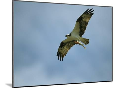 Osprey Carrying a Fish Back to its Nest-Klaus Nigge-Mounted Photographic Print