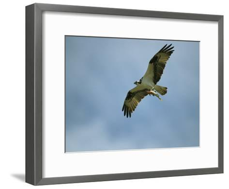Osprey Carrying a Fish Back to its Nest-Klaus Nigge-Framed Art Print