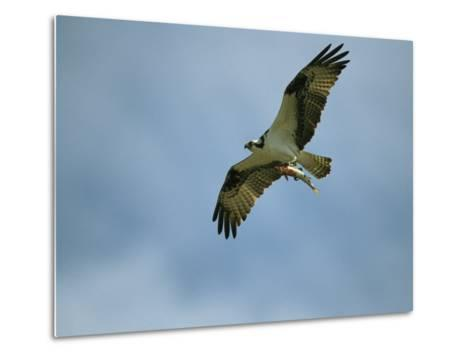 Osprey Carrying a Fish Back to its Nest-Klaus Nigge-Metal Print