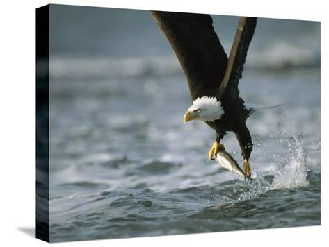 American Bald Eagle in Flight over Water with a Fish in its Talons-Klaus Nigge-Stretched Canvas Print