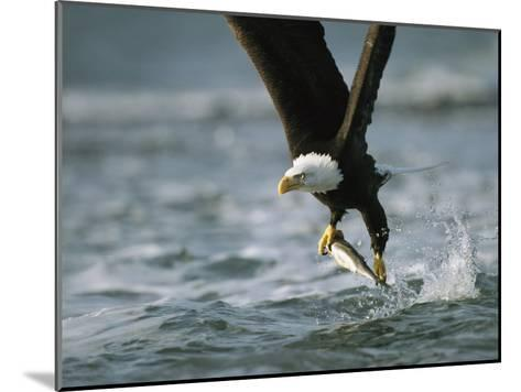 American Bald Eagle in Flight over Water with a Fish in its Talons-Klaus Nigge-Mounted Photographic Print