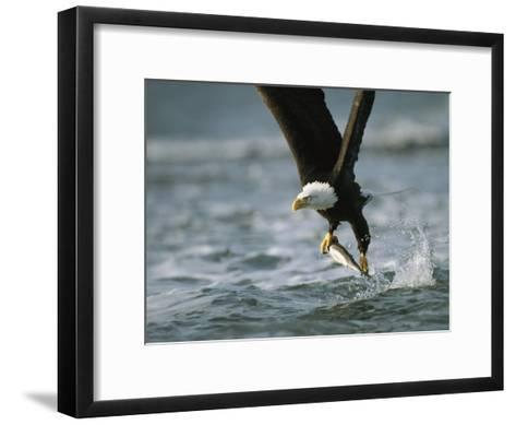 American Bald Eagle in Flight over Water with a Fish in its Talons-Klaus Nigge-Framed Art Print