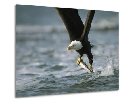 American Bald Eagle in Flight over Water with a Fish in its Talons-Klaus Nigge-Metal Print