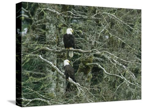 Pair of American Bald Eagles Perch in a Treetop-Klaus Nigge-Stretched Canvas Print