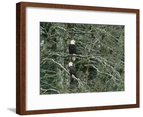 Pair of American Bald Eagles Perch in a Treetop-Klaus Nigge-Framed Art Print