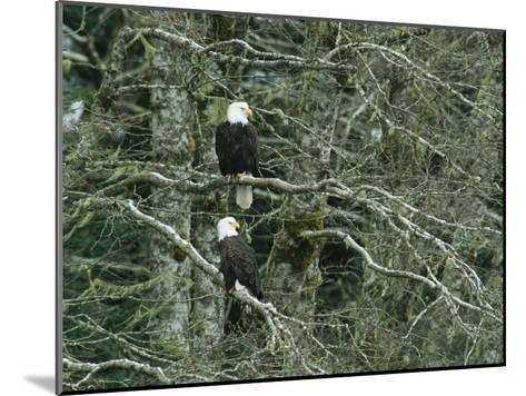 Pair of American Bald Eagles Perch in a Treetop-Klaus Nigge-Mounted Photographic Print