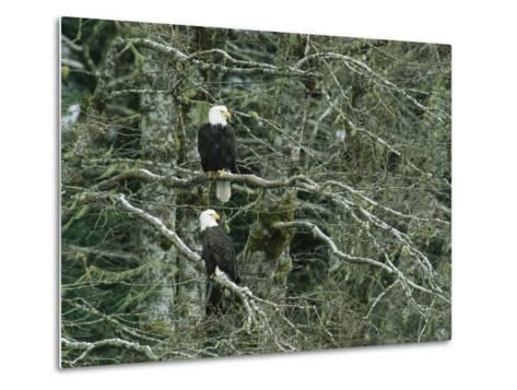 Pair of American Bald Eagles Perch in a Treetop-Klaus Nigge-Metal Print