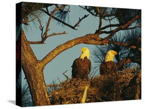 Pair of Bald Eagles Perch in Their Treetop Nest-Klaus Nigge-Stretched Canvas Print