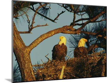 Pair of Bald Eagles Perch in Their Treetop Nest-Klaus Nigge-Mounted Photographic Print