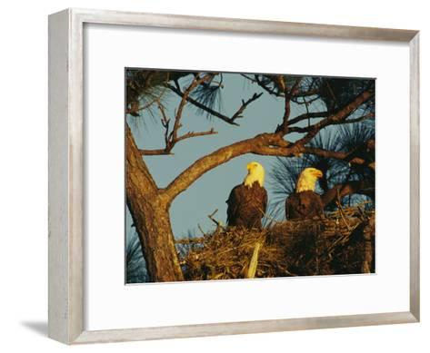 Pair of Bald Eagles Perch in Their Treetop Nest-Klaus Nigge-Framed Art Print