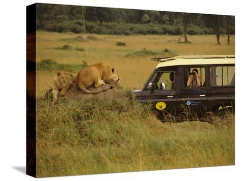 Tourist Views Lions from a Safari Jeep-Richard Nowitz-Stretched Canvas Print