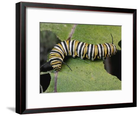 Monarch Butterfly Catepillar Feeds on a Leaf-George Grall-Framed Art Print