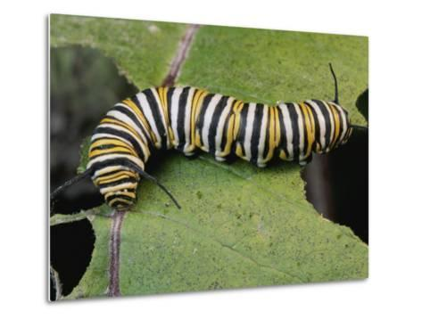 Monarch Butterfly Catepillar Feeds on a Leaf-George Grall-Metal Print