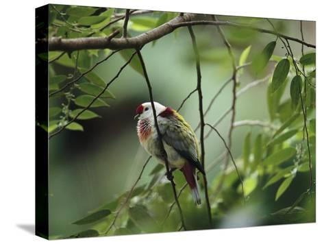 Many-Colored Fruit Dove Sitting on a Slender Tree Branch-Tim Laman-Stretched Canvas Print