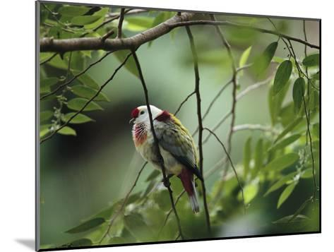 Many-Colored Fruit Dove Sitting on a Slender Tree Branch-Tim Laman-Mounted Photographic Print