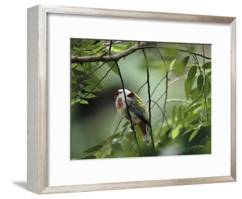 Many-Colored Fruit Dove Sitting on a Slender Tree Branch-Tim Laman-Framed Art Print