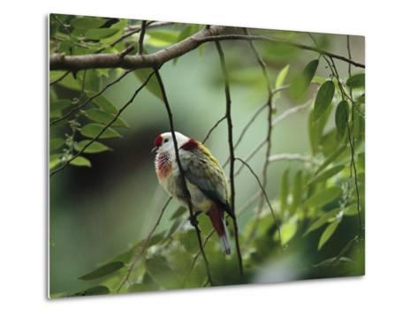 Many-Colored Fruit Dove Sitting on a Slender Tree Branch-Tim Laman-Metal Print