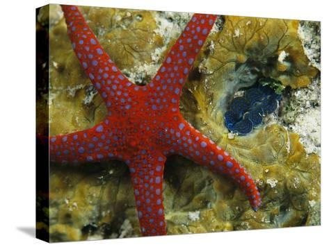 Brightly-Colored Starfish near a Small Imbedded Clam-Tim Laman-Stretched Canvas Print