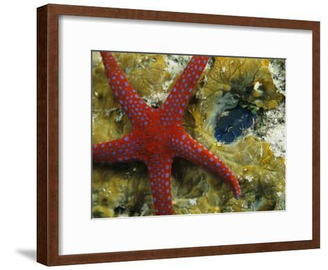 Brightly-Colored Starfish near a Small Imbedded Clam-Tim Laman-Framed Art Print