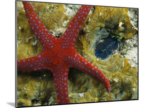 Brightly-Colored Starfish near a Small Imbedded Clam-Tim Laman-Mounted Photographic Print