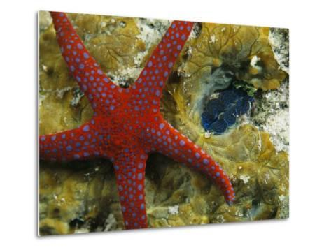 Brightly-Colored Starfish near a Small Imbedded Clam-Tim Laman-Metal Print