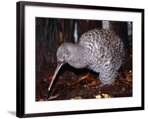 Little Spotted Kiwi (Apteryx Owenii) on the Forest Floor, New Zealand-Oliver Strewe-Framed Art Print