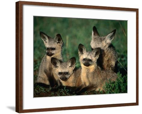 Bat-Eared Fox Pups (Octocyon Megalotis) in Their Den, Serengeti National Park, Tanzania-Ariadne Van Zandbergen-Framed Art Print