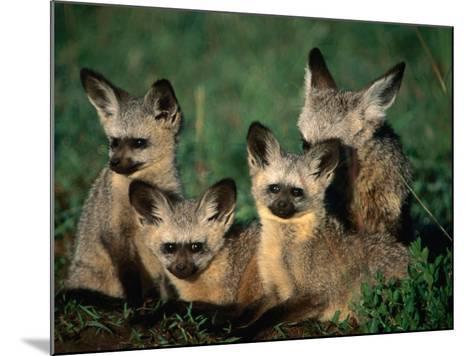 Bat-Eared Fox Pups (Octocyon Megalotis) in Their Den, Serengeti National Park, Tanzania-Ariadne Van Zandbergen-Mounted Photographic Print