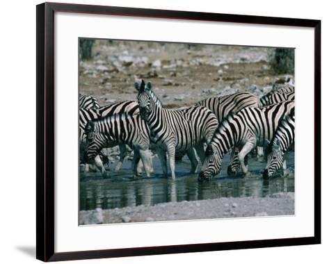 Zebras (Equus Zebra) Drinking in River, Etosha National Park, Namibia-Dennis Jones-Framed Art Print