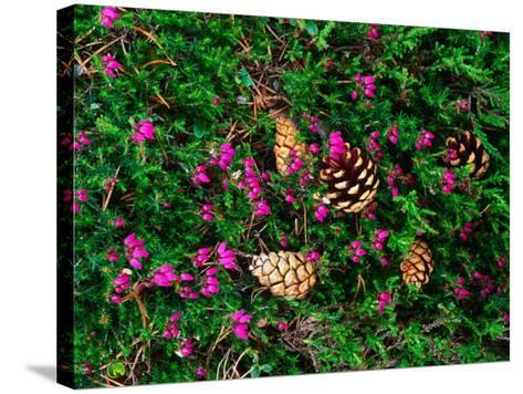 Heather and Scots Pine (Pinus Sylvestris), the Cairngorms, Scotland-Grant Dixon-Stretched Canvas Print