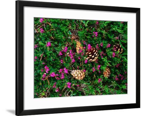 Heather and Scots Pine (Pinus Sylvestris), the Cairngorms, Scotland-Grant Dixon-Framed Art Print