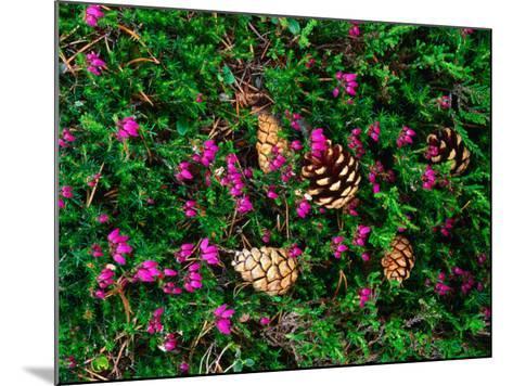 Heather and Scots Pine (Pinus Sylvestris), the Cairngorms, Scotland-Grant Dixon-Mounted Photographic Print