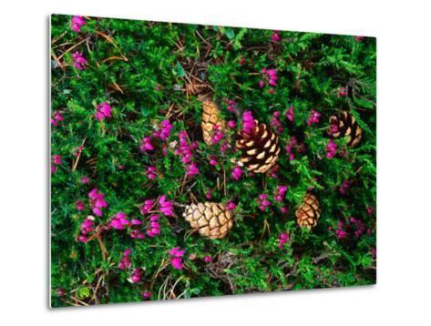 Heather and Scots Pine (Pinus Sylvestris), the Cairngorms, Scotland-Grant Dixon-Metal Print