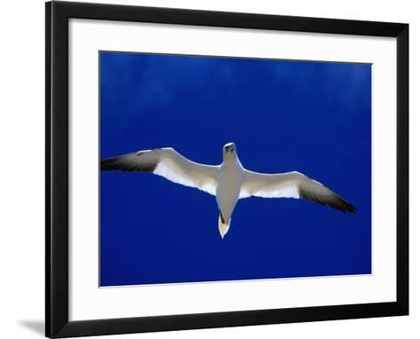 Gannet (Sula Bassana) Flying, Ireland-David Tipling-Framed Art Print