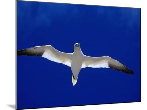 Gannet (Sula Bassana) Flying, Ireland-David Tipling-Mounted Photographic Print
