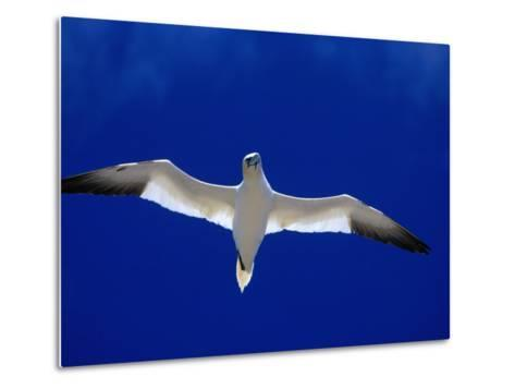Gannet (Sula Bassana) Flying, Ireland-David Tipling-Metal Print