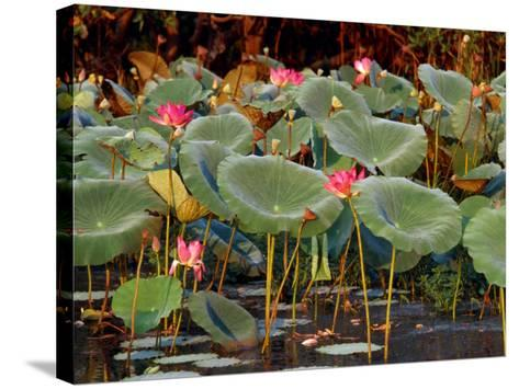 Plants and Flowers along Yellow River, Kakadu National Park, Australia-John Banagan-Stretched Canvas Print