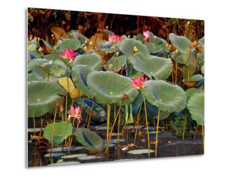 Plants and Flowers along Yellow River, Kakadu National Park, Australia-John Banagan-Metal Print
