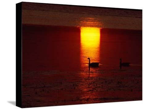 Silhouetted Canada Geese at Twilight-Medford Taylor-Stretched Canvas Print
