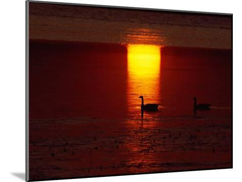 Silhouetted Canada Geese at Twilight-Medford Taylor-Mounted Photographic Print