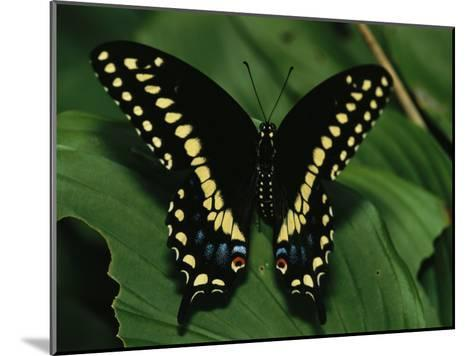 A Close View of a Tiger Swallowtail Butterfly-Medford Taylor-Mounted Photographic Print