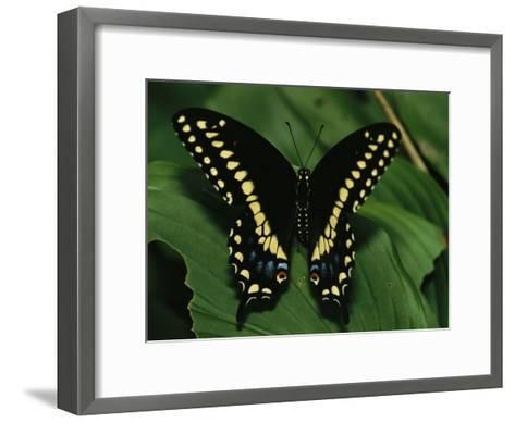 A Close View of a Tiger Swallowtail Butterfly-Medford Taylor-Framed Art Print