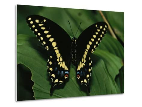 A Close View of a Tiger Swallowtail Butterfly-Medford Taylor-Metal Print